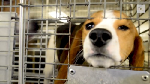Exposing Beagle Farming in the U.S.