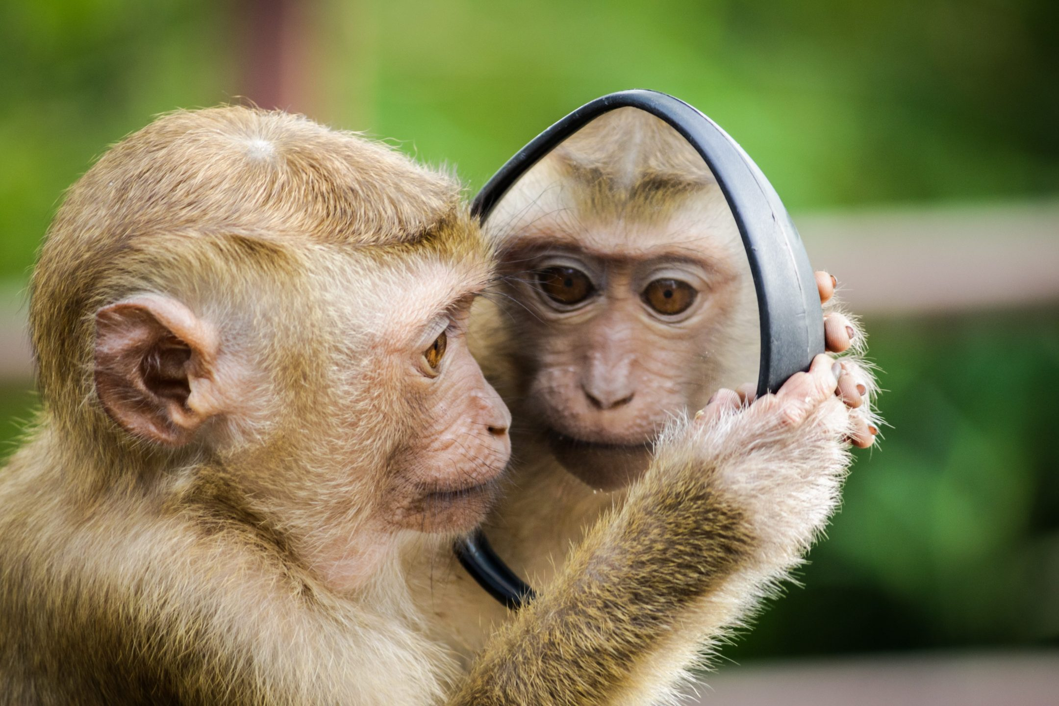 monkey mirror self