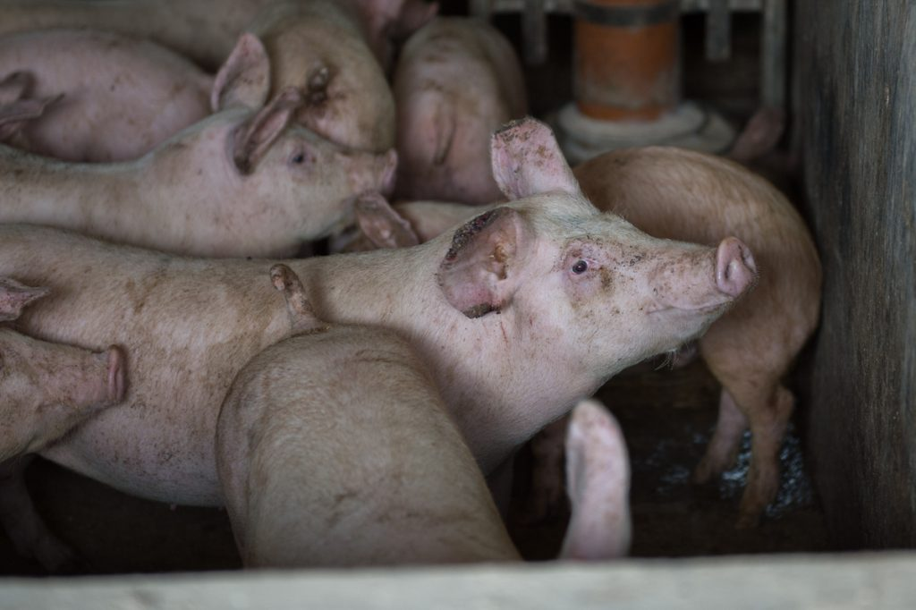 abused factory farm animals
