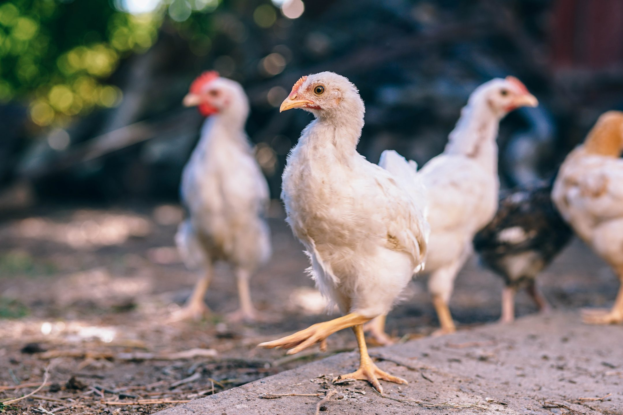 What Is Cage-Free Poultry?