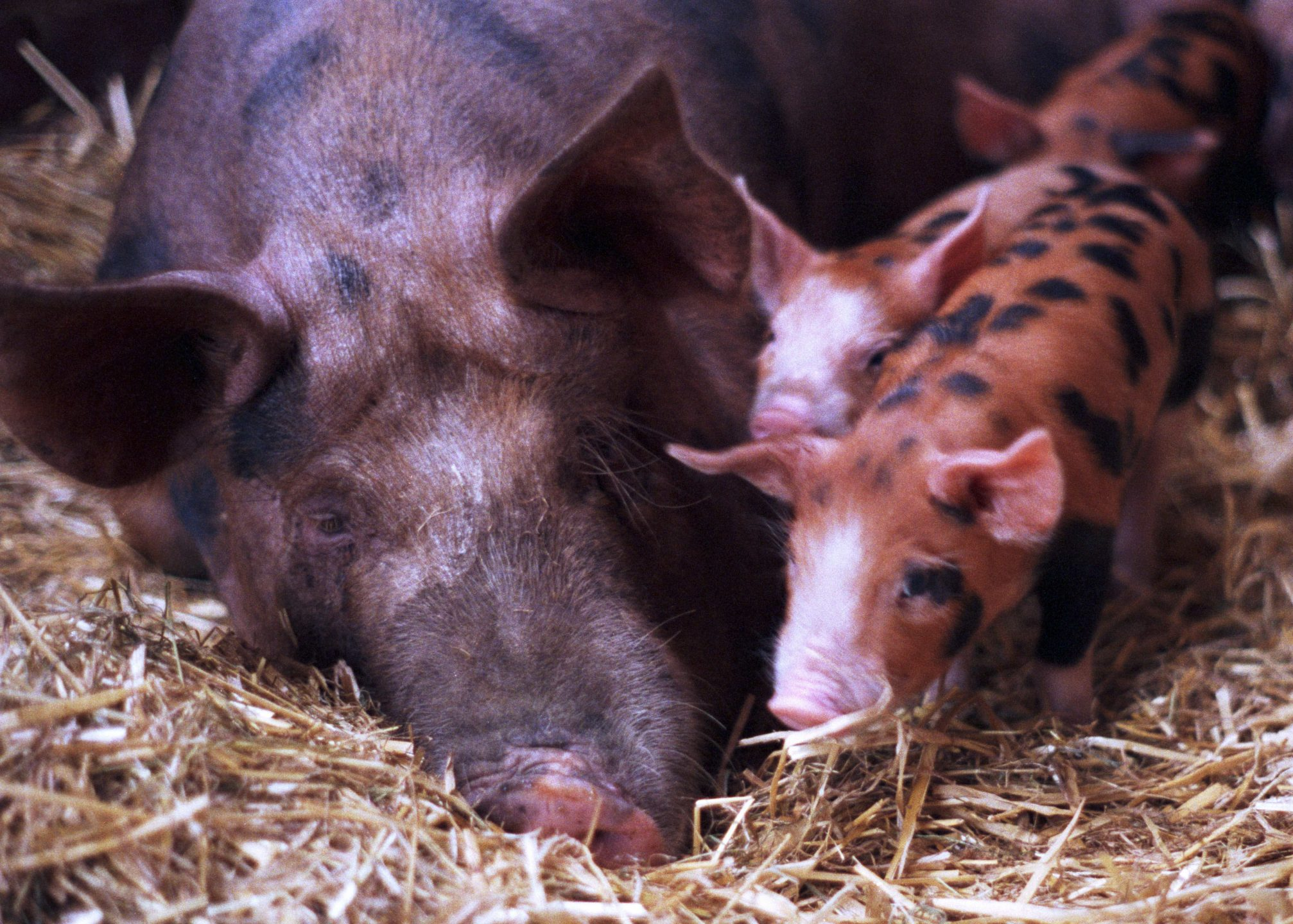 What's Happening to America's Sows? And Your 5-A-Day