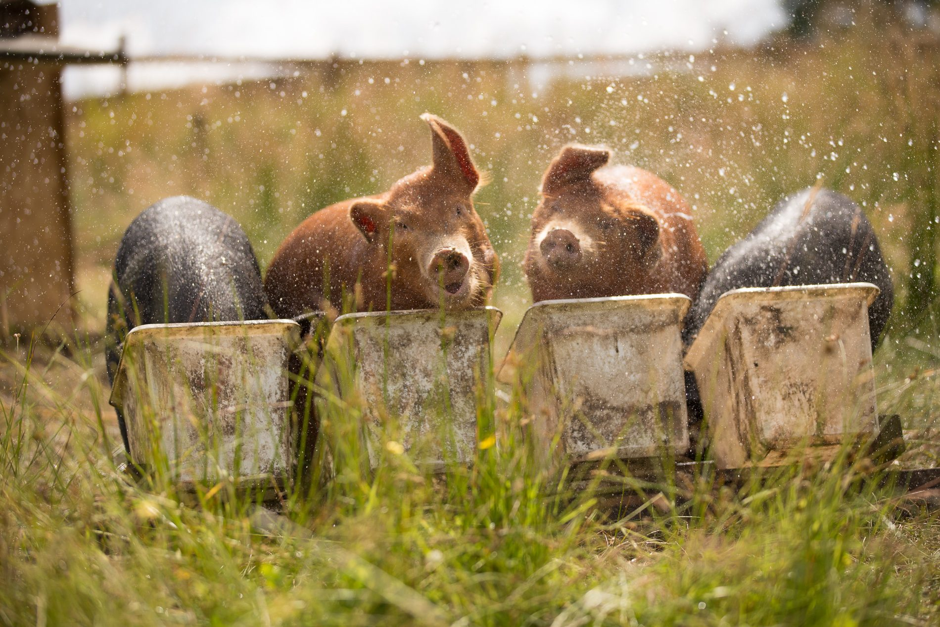 More than 300,000 Crate-Free Pigs Raised in Three Years; and Your 5-A-Day