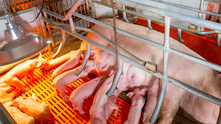 pigs on factory farm