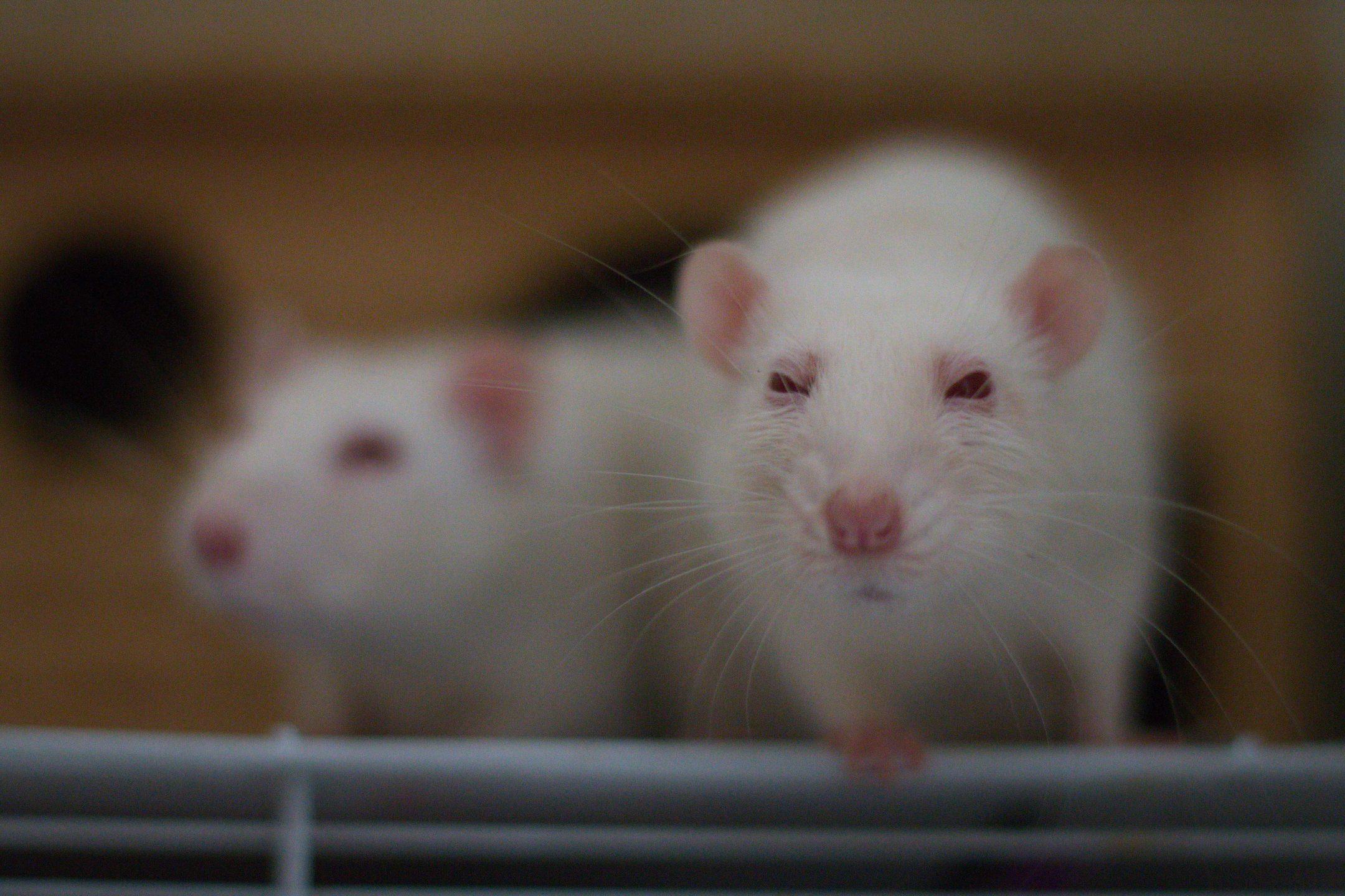 Report: Half the Country Is Against Genetically Engineered Animal Testing