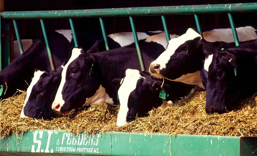 diseases contracted by dairy cows on factory farms