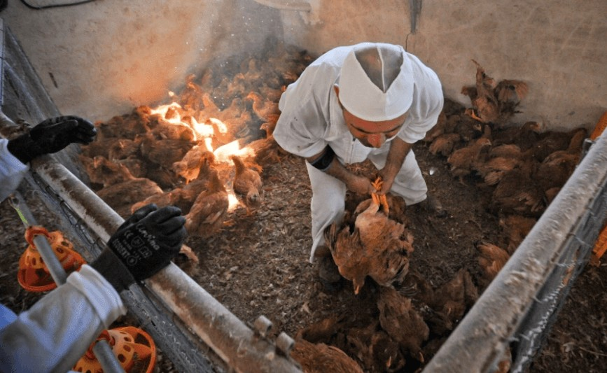 fate of poultry farm chickens