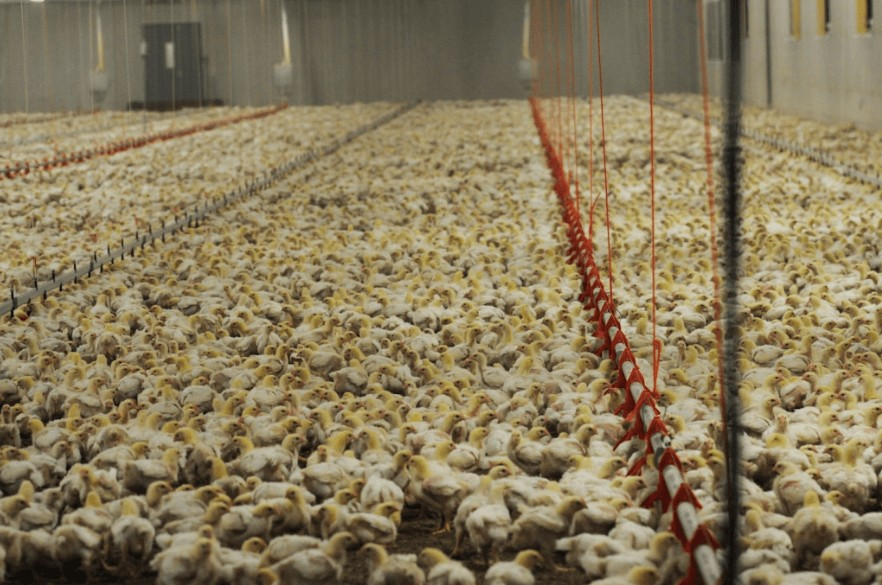 Poultry Farming: The Shocking Reality of a Factory Farm Chicken