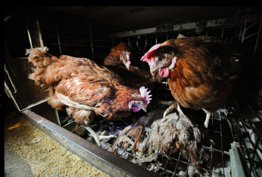 egg farming cruelty