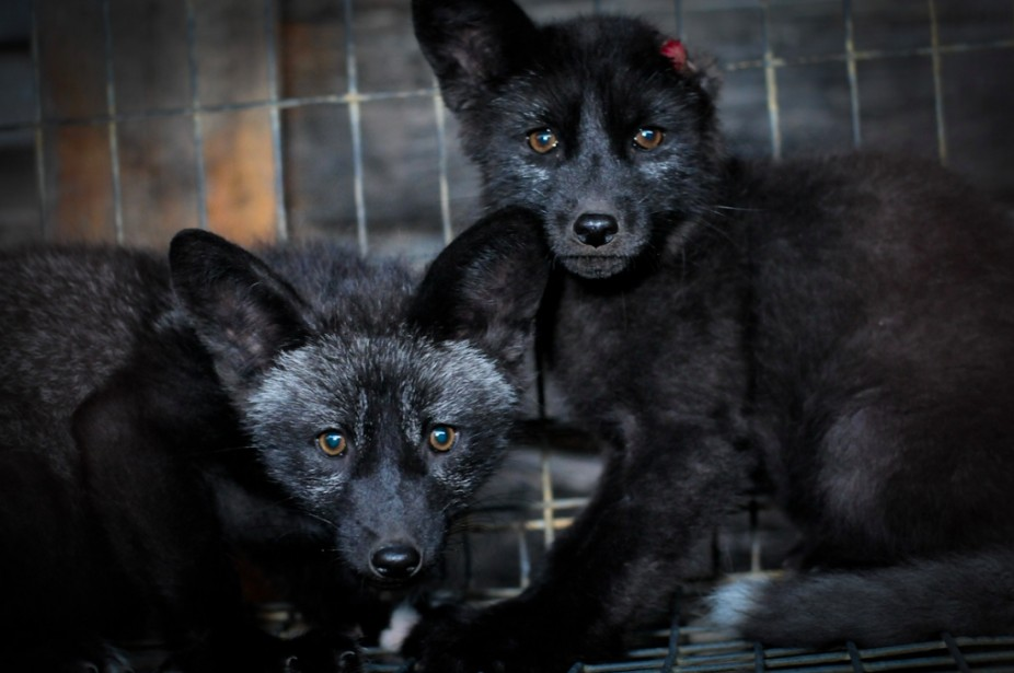 what is fur farming