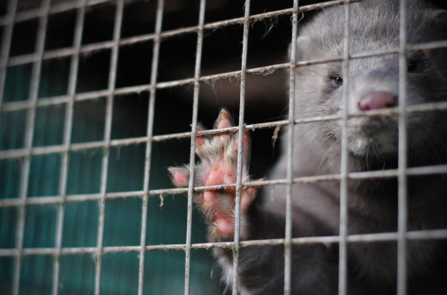 animals used for fur farming