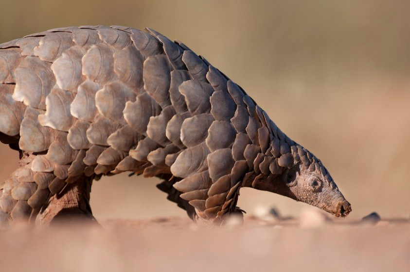 world's most trafficked animal
