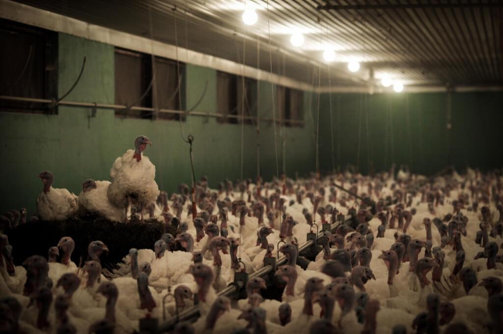 turkey factory farm