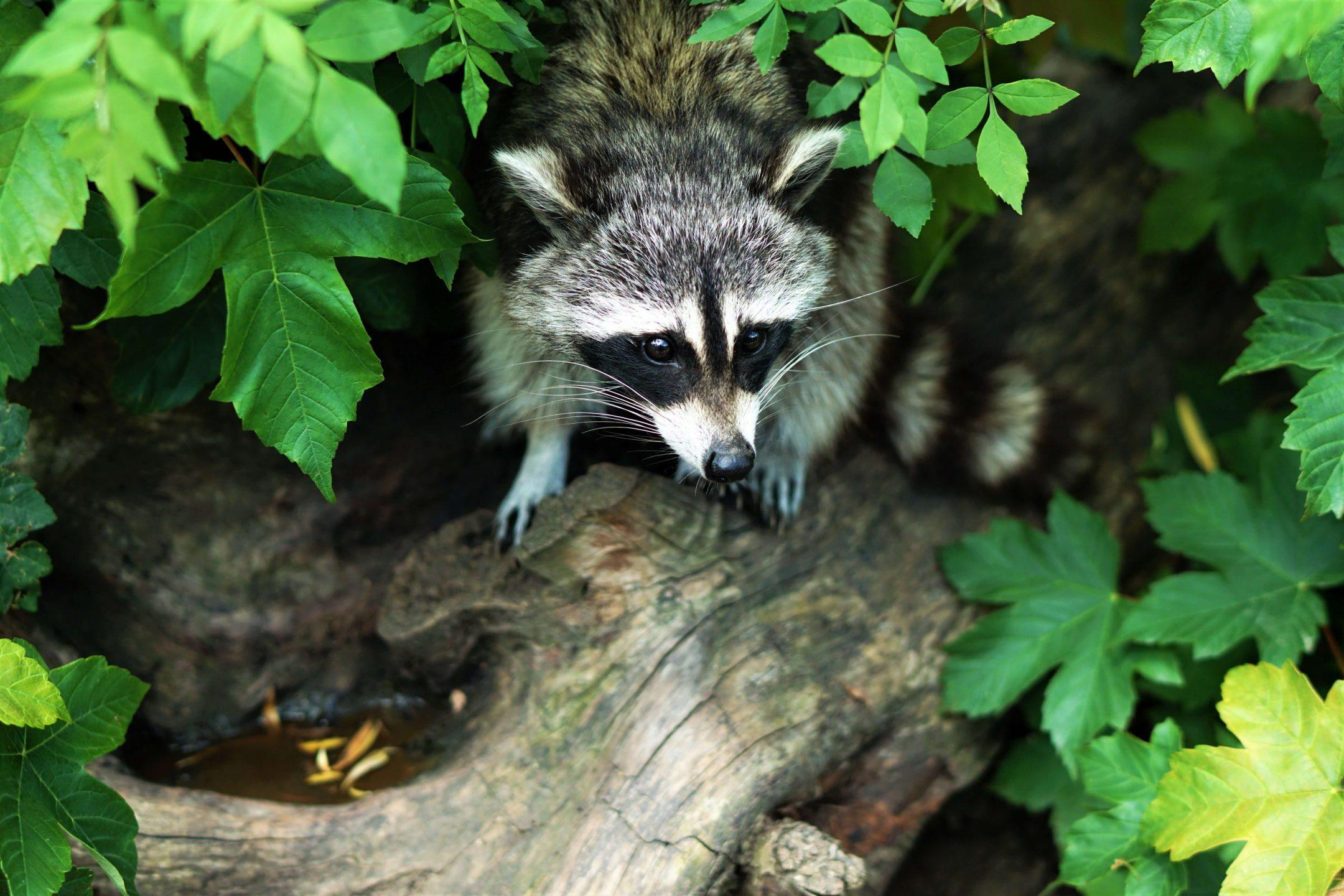 raccoon hiding tree