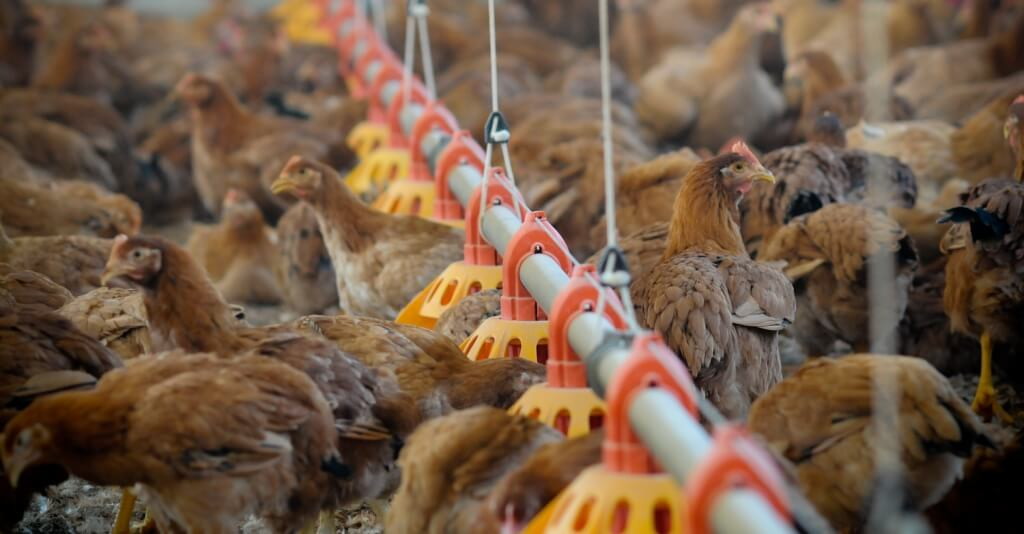 The World's Largest Fast Food Companies Are Failing Chickens