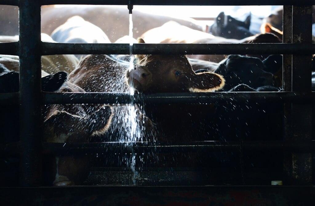 cows stockyard water