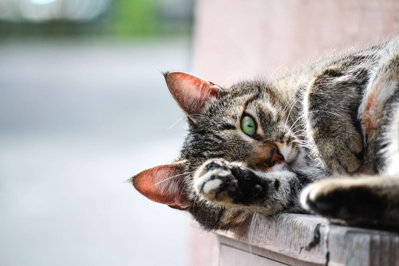tabby cat feral