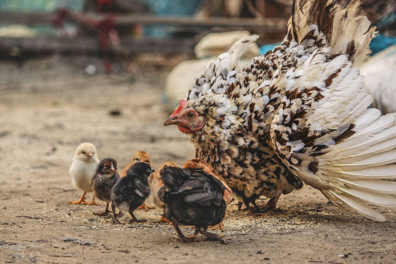 chicken farm chicks