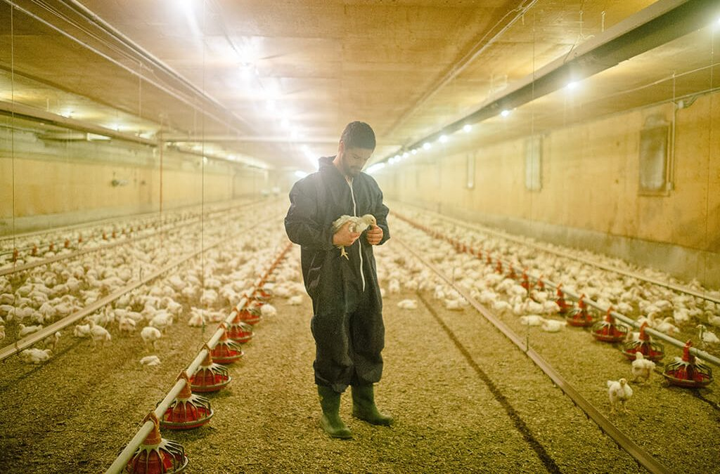 EU Poultry Production Hits Record High