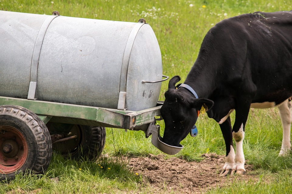 water usage dairy cows