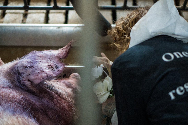 activists pig farm