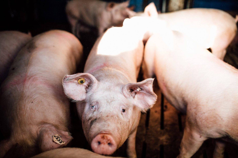pig farm Canada