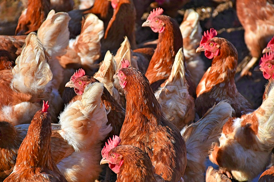 animal agriculture and factory farming