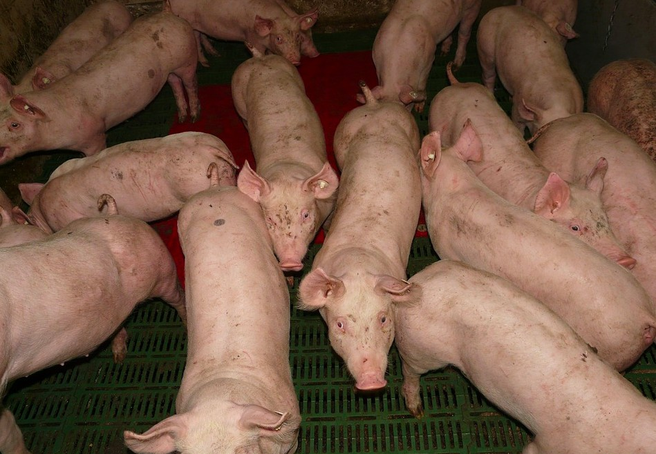 animal agriculture pigs