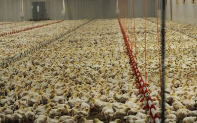 U.S. Kills 25 Million Chickens for Food Every Day