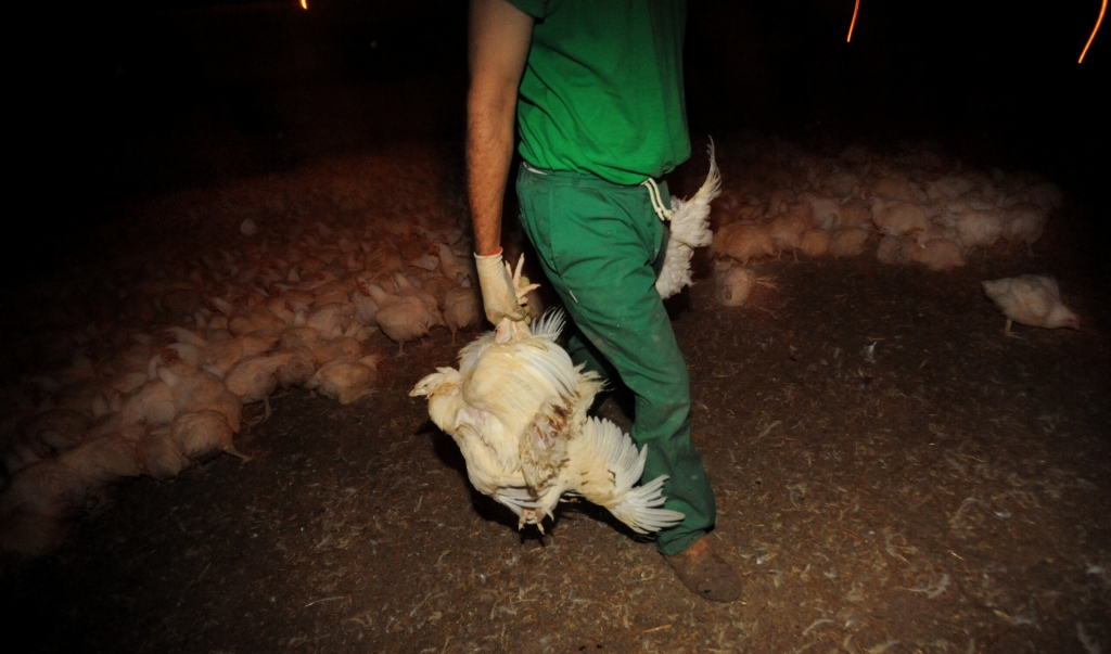 broiler chickens on a factory farm