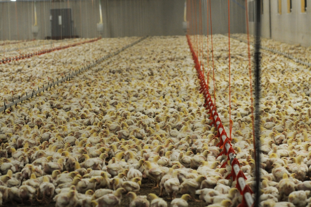 chickens on factory farm