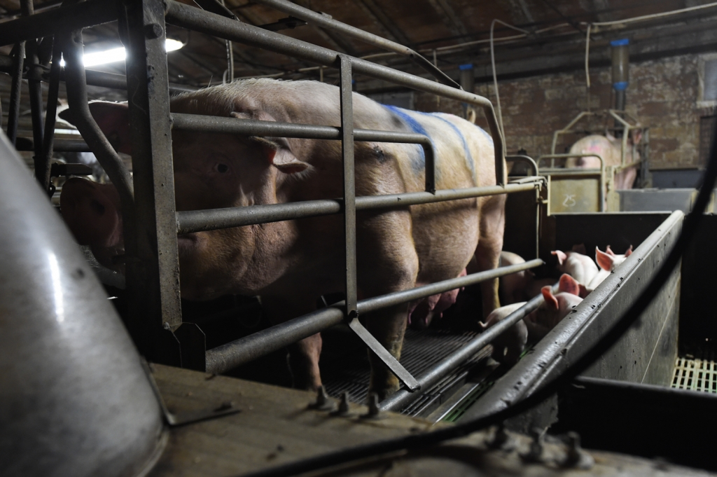 factory farmed pigs