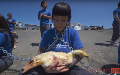 Watch: Activists Infiltrate Duck Farm, Save 32 Lives