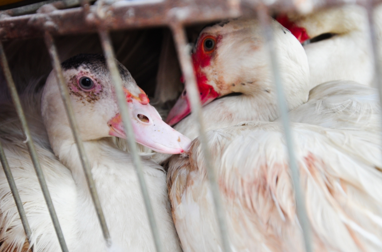 What Is Foie Gras and Why Is It Cruel To Ducks and Geese?