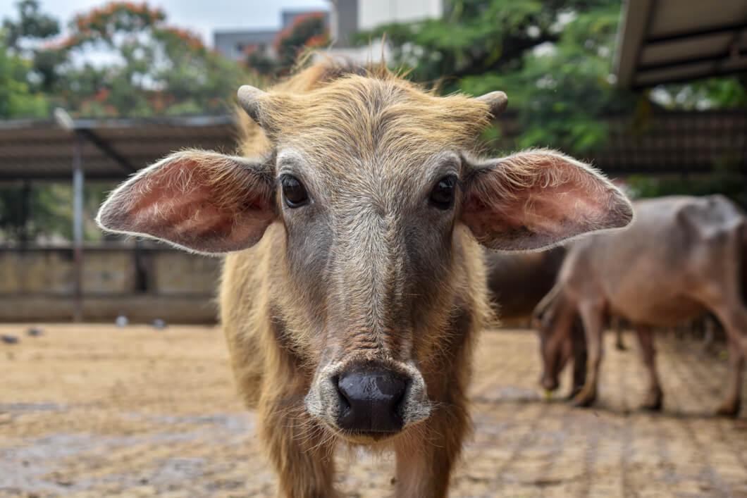 cow factory farm