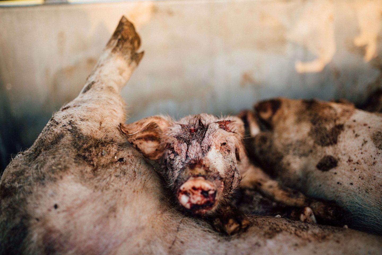 dead pig pile