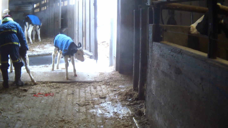dairy calf farm