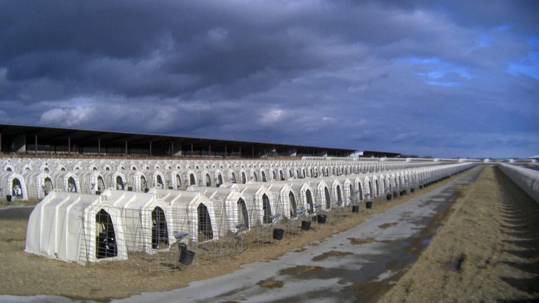shed calve farm