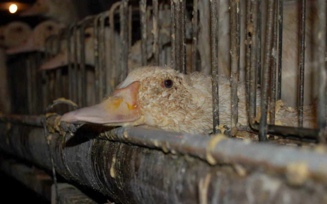 Ukraine's Last Foie Gras Farm to Shut Down