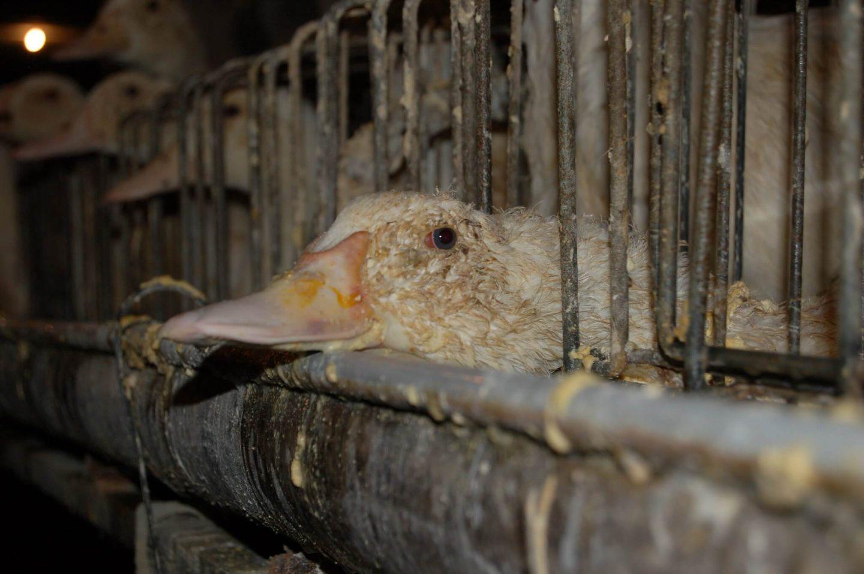 foie gras duck