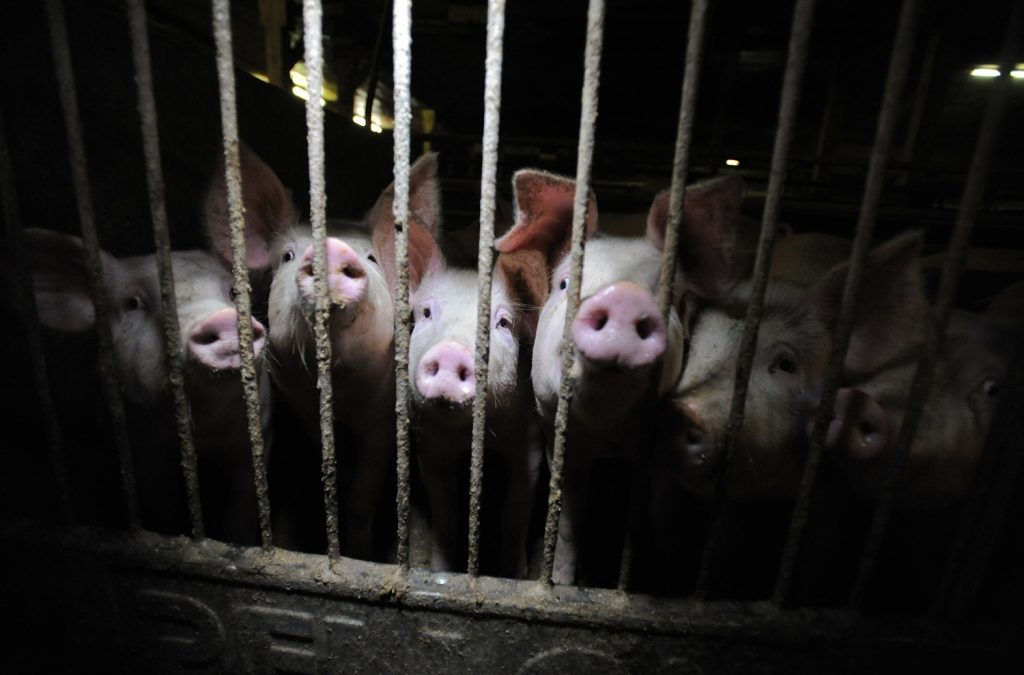 Smithfield Foods: How Many Pigs Does Smithfield Slaughter Per Day?