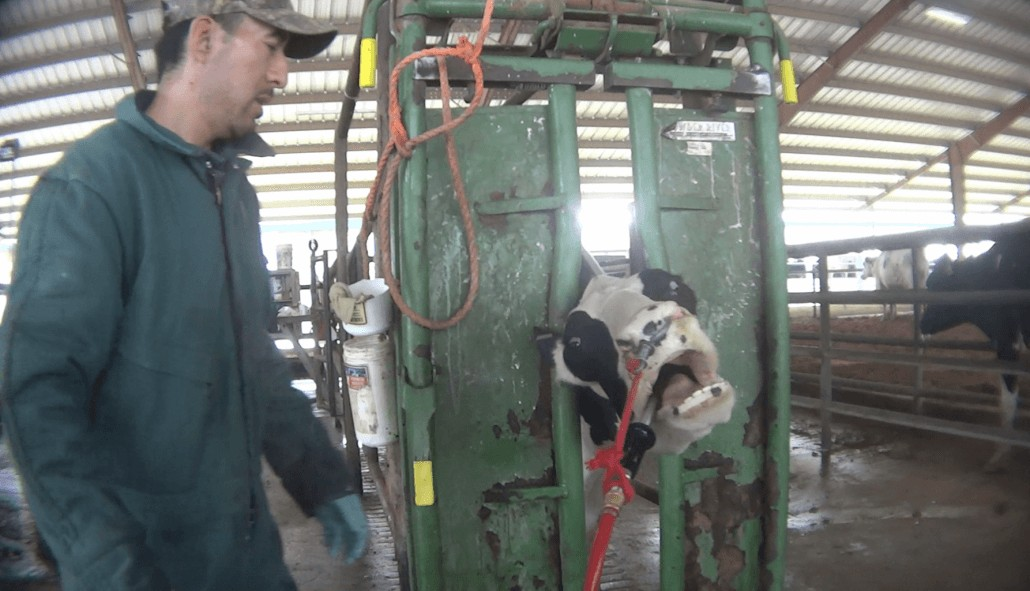 dairy cow cruelty