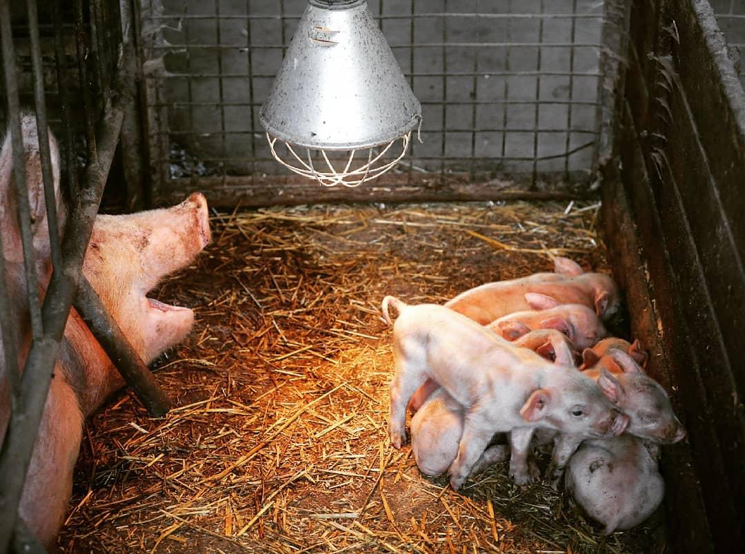 mother pig piglets