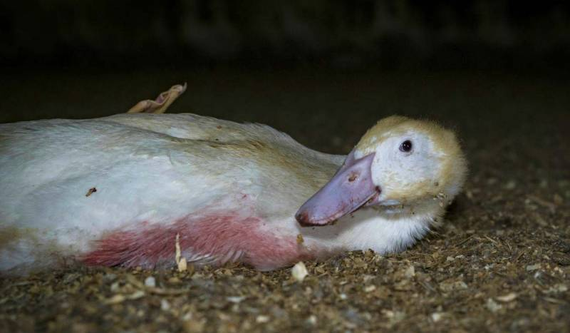 Duck Farming: Is Profit Worth Their Pain and Suffering?