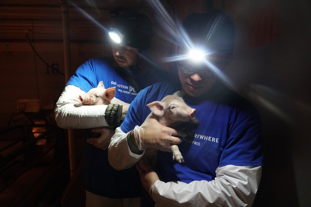 Rescuers Carrying Piglets