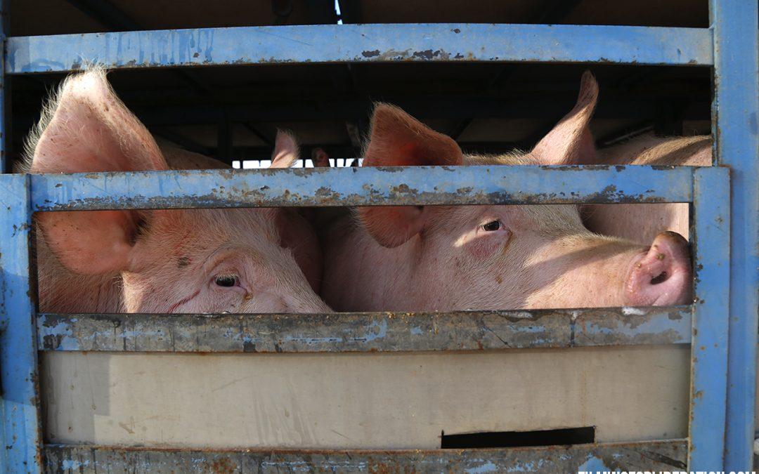 Farmed Animal Transport: The Cruelest Leg Along the Road to Slaughter