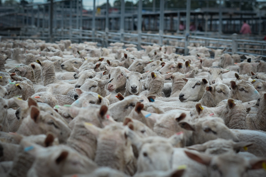 what is sheep farming