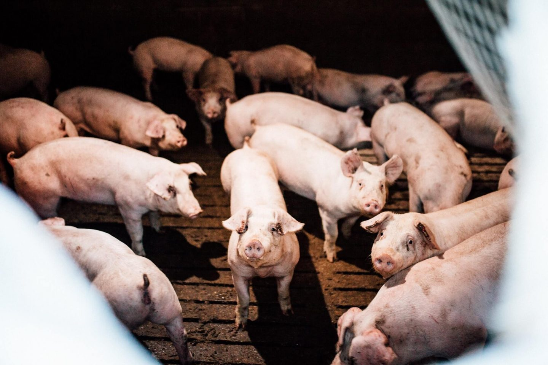 pig farm suffering