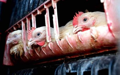 Going Cage-Free: How Corporations Influence Public Opinion of Animal Advocacy