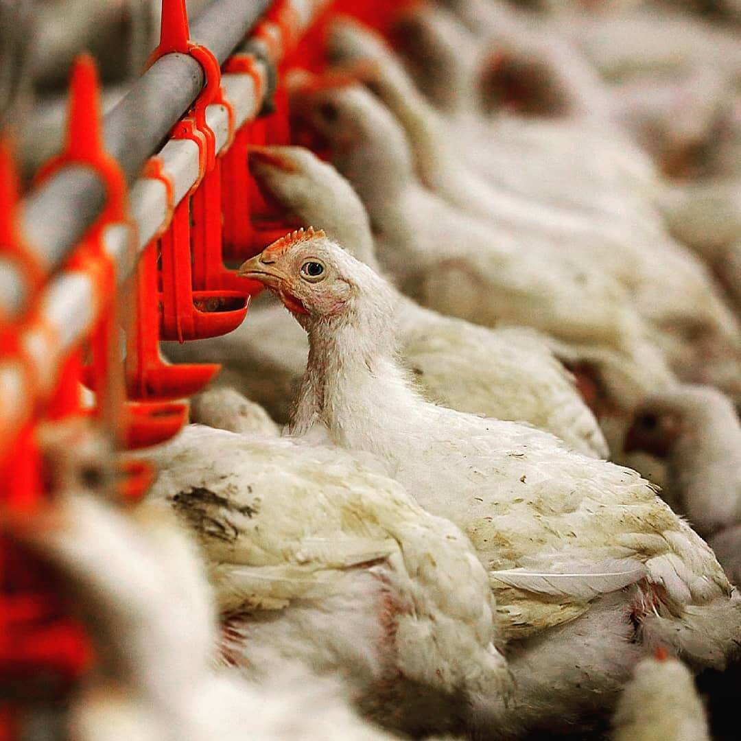 Tyson Foods: How Many Chickens Does Tyson Kill Per Day?