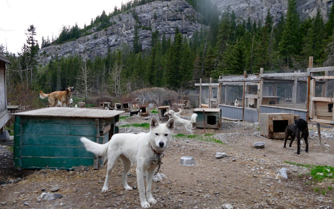 Summertime is the Cruelest Time for Sled Dogs